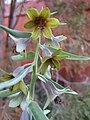 Fritillaria sewerzowii 2.jpg