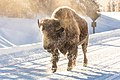 Frosty bison on a cold morning (ea2eebce-7a14-4941-a22b-bc342ee90599).jpg