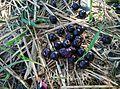 Fruits of Myrtus cyminum.jpg