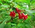 Fuchsia michoacanensis 1.jpg