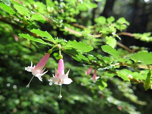500px fuchsia thymifolia kunth (am ak360617 2)