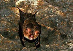 Fulvous Roundleaf Bat (Hipposideros fulvus).jpg