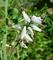 Fumaria parviflora^ Papaveraceae - Flickr - gailhampshire.jpg