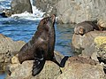Fur seal sitting on top of rock.jpg