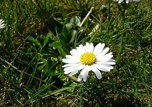 Gänseblümchen auf der Wiese 17-04-2010.jpg