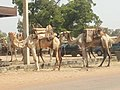 GROUPE DE DROMADAIRES EN DEPALCEMENT A SEGBANA ( FRONTIERE BENIN-NIGERIA).jpg