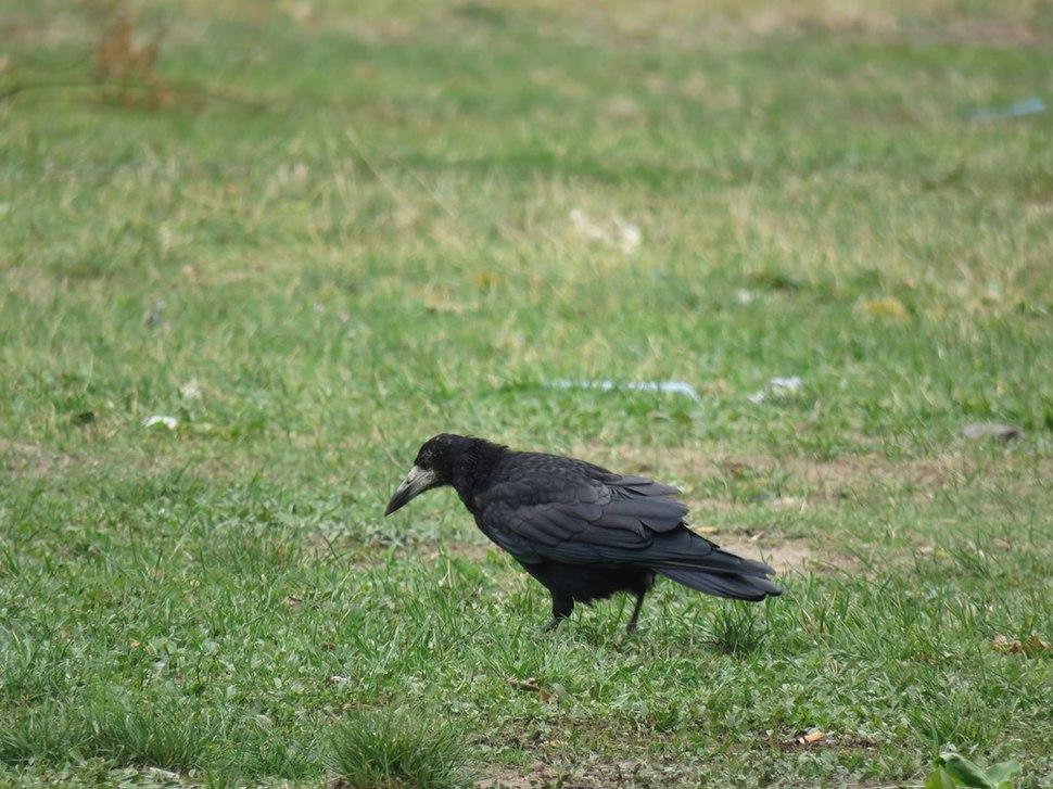 Gačac, ptice u Nišu, Srbija (3)