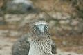 Galapagos Blue-Footed Booby.jpg