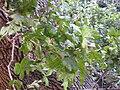 Gardenology.org-IMG 2563 ucla09.jpg
