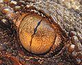 Gecko-oeil.jpg