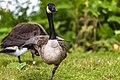 Geese (42570638235).jpg