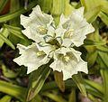 Gentiana algida flower.JPG