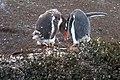Gentoo Penguins Tierra del Fuego Argentina Luca Galuzzi 2005.JPG