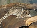 Geoffroys Cat.jpg