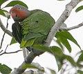 Geoffroyus geoffroyi -Papua New Guinea-6 CROP.jpg