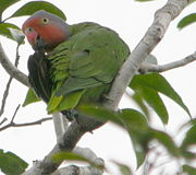 Green parrot with rose cheeks and brow