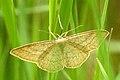 Geometridae.-.lindsey.jpg