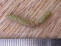 Geometridae sp. (5267655705).jpg