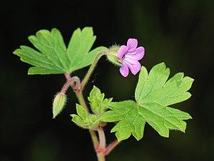 Geraniaceae - Geranium rotundifolium