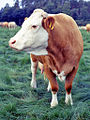 German cattle.jpg