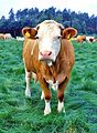 German cow 677.jpg