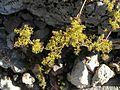 Giardino botanico alpino Viote - Galium verum2.jpg