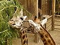 Giraffa camelopardalis - Giraffe - Girafe - Oasis Park - 06.jpg