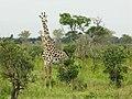 Giraffe (5896334543).jpg