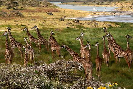 A tower of giraffes at Arusha National Park. The giraffe is the national animal. Giraffes Arusha Tanzania.jpg