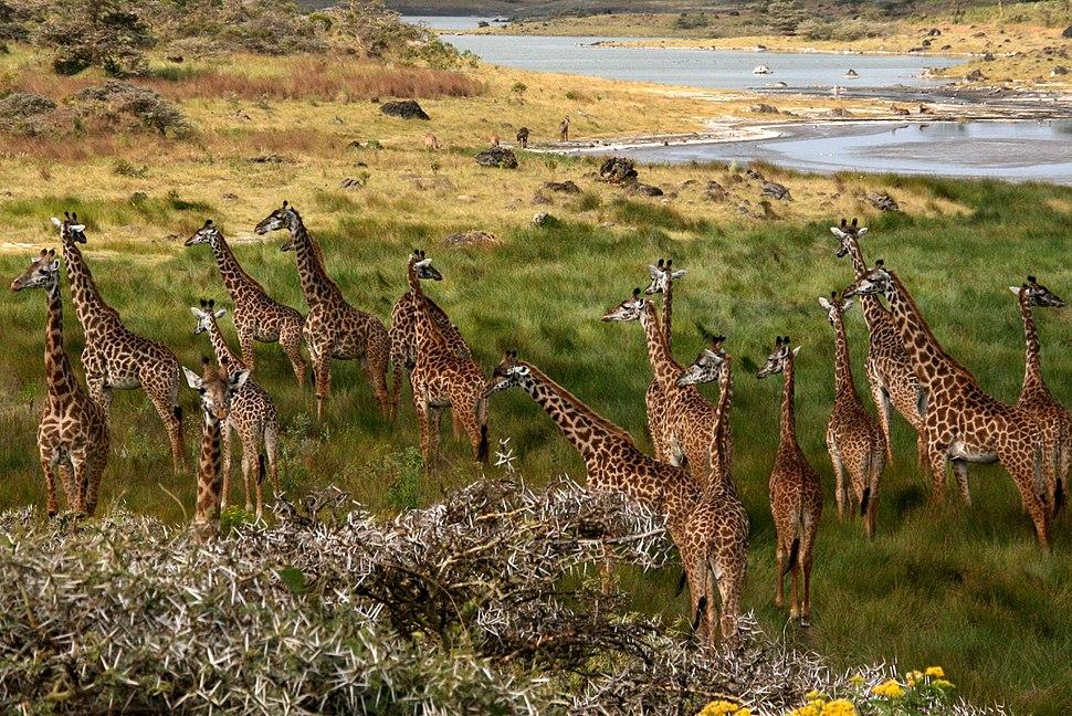 Giraffes Arusha Tanzania