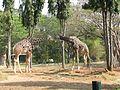 Giraffes in Mysore zoo.jpg