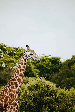 Giraffe in Akagera National Park Girraffe in Akagera national park.jpg