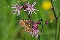 Glanville fritillary (Melitaea cinxia) 2.jpg