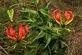 Gloriosa superba 2233.jpg