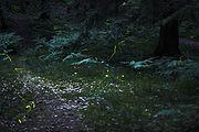 Fireflies in the woods near Nuremberg, Germany