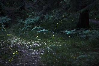 Firefly - Fireflies in the woods near Nuremberg, Germany, exposure time 30 seconds