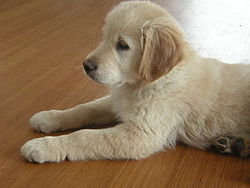 Golden Retriever 12weeks.JPG