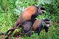 Golden monkeys (Cercopithecus kandti) mating.jpg