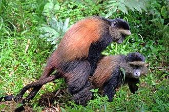 Golden monkey - Image: Golden monkeys (Cercopithecus kandti) mating