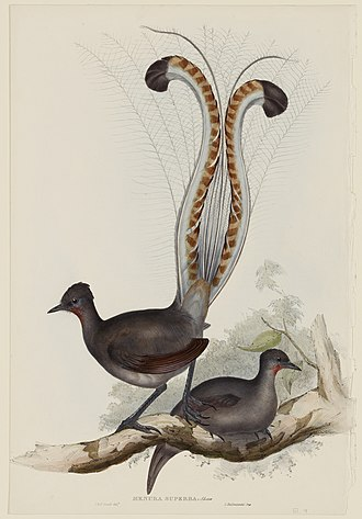 Elizabeth Gould (illustrator) - An example of a lithograph with attribution shared between Elizabeth and John Gould