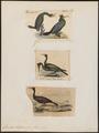 Graculus bilophus - 1700-1880 - Print - Iconographia Zoologica - Special Collections University of Amsterdam - UBA01 IZ18000109.tif