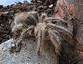 Grammostola rosea young.jpg