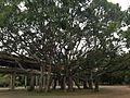 Grande árvore no Parque do Ibirapuera.JPG