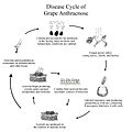 Grape Anthracnose Disease Cycle.jpg