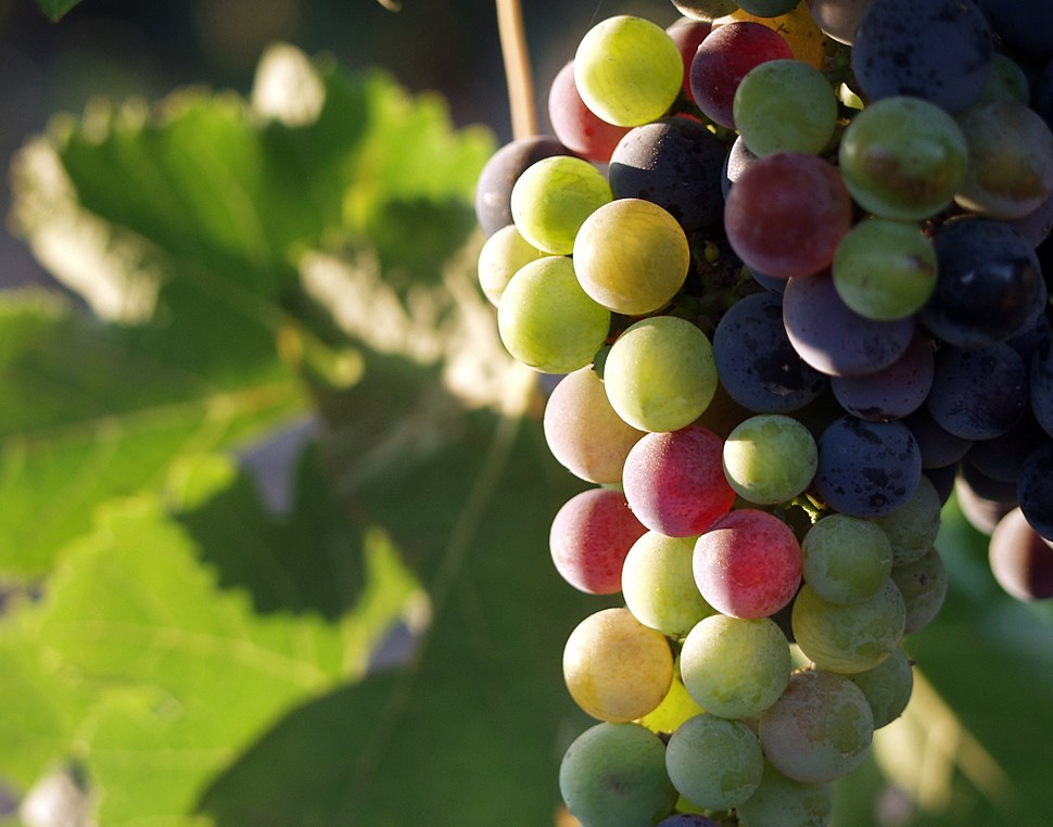 Grapes during pigmentation 2