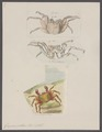 Grapsus pictus - - Print - Iconographia Zoologica - Special Collections University of Amsterdam - UBAINV0274 094 04 0006.tif
