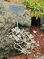 Graptopetalum paraguayense - Food and Agriculture Museum - Setagaya, Tokyo, Japan - DSC09886.jpg