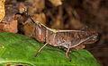 Grasshopper from Ecuador (14864372207).jpg