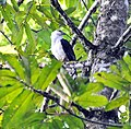 Gray-headed Kite (6927395404).jpg