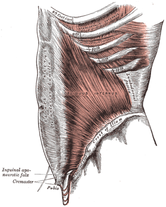 Abdominal internal oblique muscle - The obliquus internus abdominis.